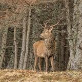 Red Deer (9)