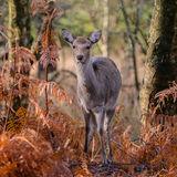 Sika Deer (3)