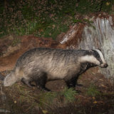 Badger (2)