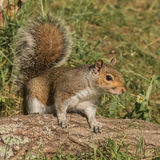 Grey Squirrel (1)