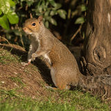 Grey Squirrel (2)