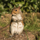 Grey Squirrel (3)