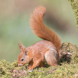 Red Squirrel (7)