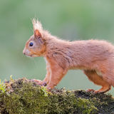 Red Squirrel (9)