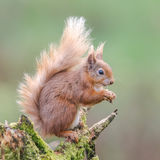 Red Squirrel (10)