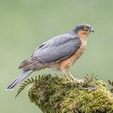 Eurasian Sparrowhawk (1)