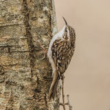 Treecreeper (1)