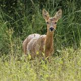 Roe Deer (1)