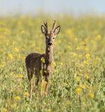 Roe Deer (2)