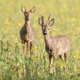 Roe Deer (3)