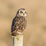 Short-eared Owl (2)