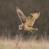 Short-eared Owl (4)