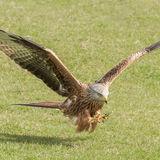 Red Kite (1)