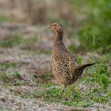 Pheasant (2)