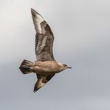 Great Skua (2)