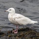 Glaucous Gull (2)
