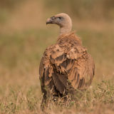 Griffon Vulture (1)