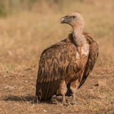 Griffon Vulture (4)