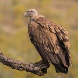 Griffon Vulture (5)