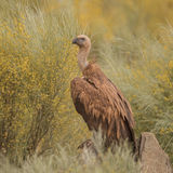 Griffon Vulture (6)