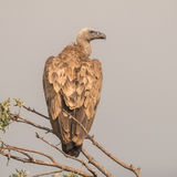 Griffon Vulture (8)