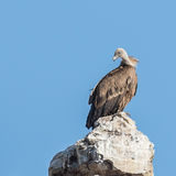 Griffon Vulture (9)