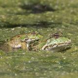 Marsh Frog (1)
