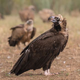 Cinereous Vulture (1)