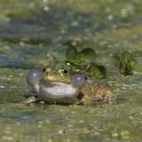Marsh Frog (2)