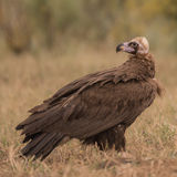 Cinereous Vulture (3)