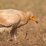 Egyptian Vulture (1)