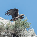 Spanish Imperial Eagle (3)