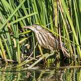 Little Bittern (1)