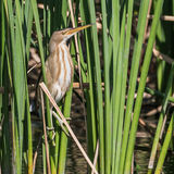 Little Bittern (2)