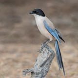 Iberian Azure-winged Magpie (2)