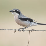 Iberian Grey Shrike