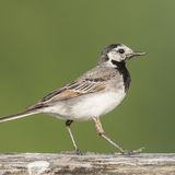 White Wagtail (2)
