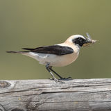 Black-eared Wheatear (1)