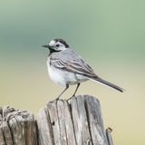 White Wagtail (3)
