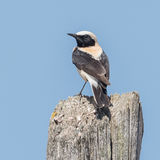 Black-eared Wheatear (2)