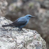 Blue Rock-Thrush (1)