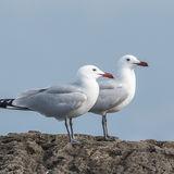 Audouin's Gull (2)