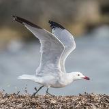 Audouin's Gull (3)