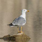Yellow-legged Gull (1)