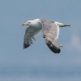 Yellow-legged Gull (2)