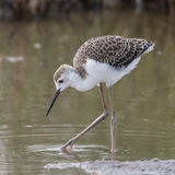 Black-winged Stilt (3)