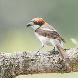 Woodchat Shrike (1)