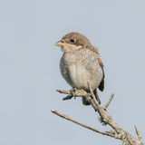 Woodchat Shrike (2)