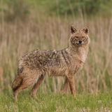 Golden Jackal (1)