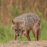 Golden Jackal (2)